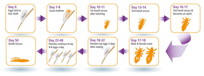 Life Cycle Of Head Lice Amp Eggs Nyda